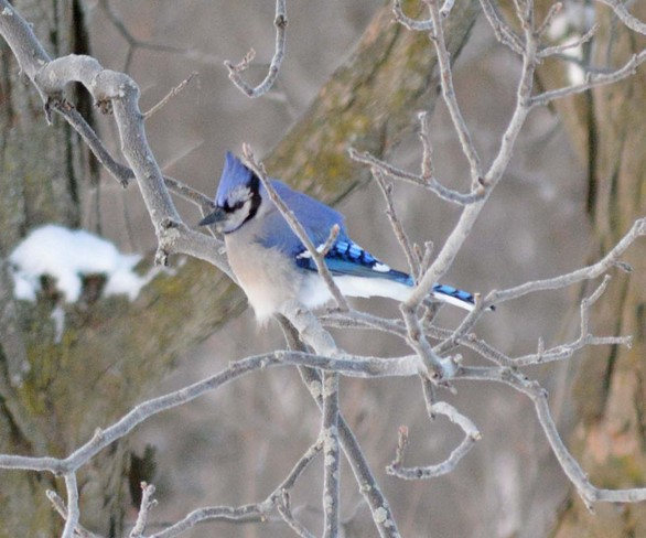 Blue Jay Camden East, Ontario Canada