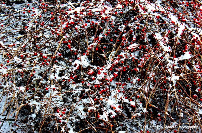 Frosty Red Eastern Passage, Nova Scotia Canada