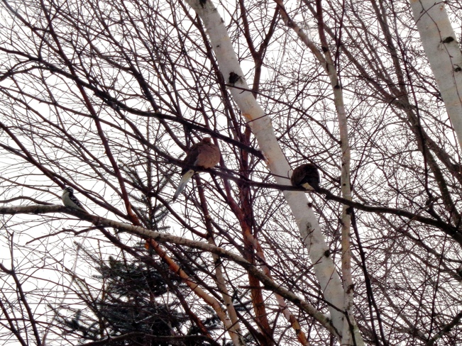 Mourning Doves and Woody roosting in Birch tree Williamsburg, Ontario Canada