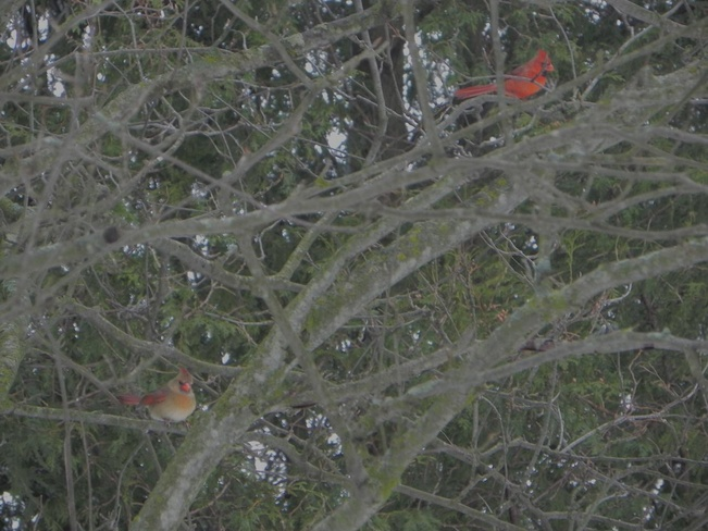 Male and female Cardinals Belton, Ontario Canada