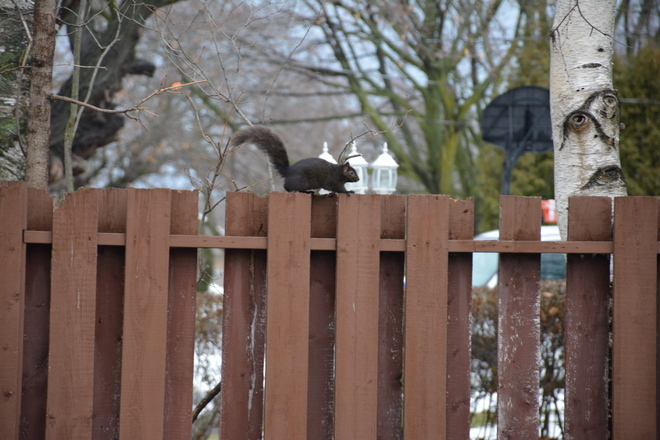 Black squirrel running away St. Catharines, Ontario Canada
