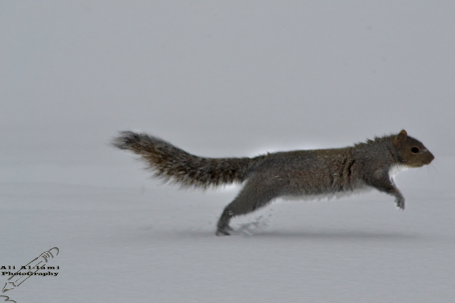 Squirrel running through an ice storm_2 Sherbrooke, Quebec Canada