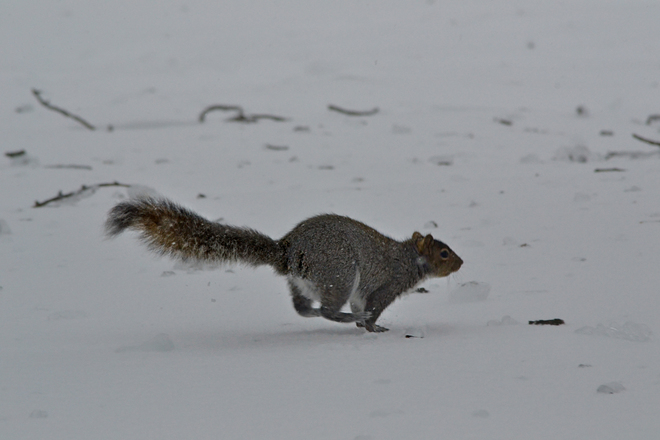 Squirrel running through an ice storm Sherbrooke, Quebec Canada