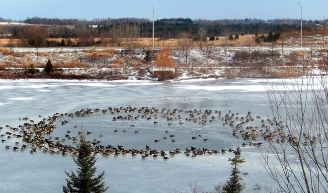 Canada geese on a frozen pond .. Markham, Ontario Canada