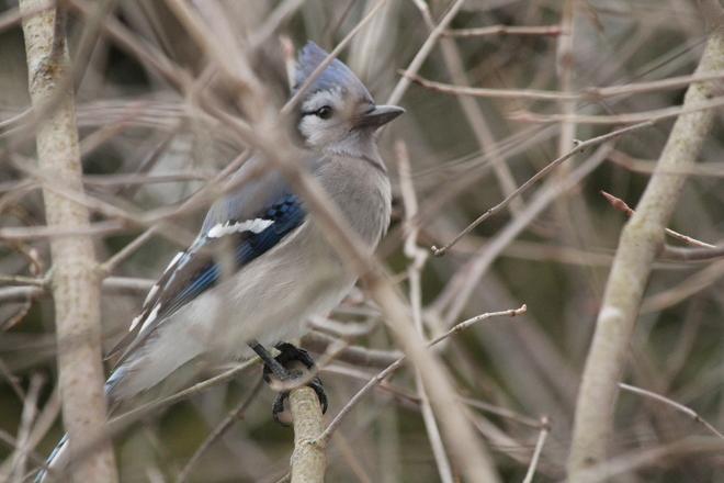 Blue Jay Kingston, Ontario Canada