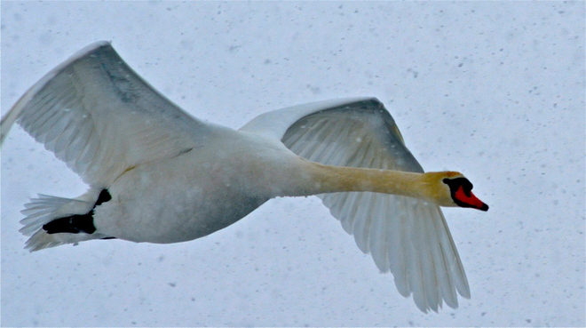 Swan in flight over Rotary park in Wellington Picton, Ontario Canada