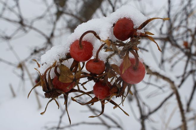 Rose Hips In The Snow Temiskaming Shores, Ontario Canada