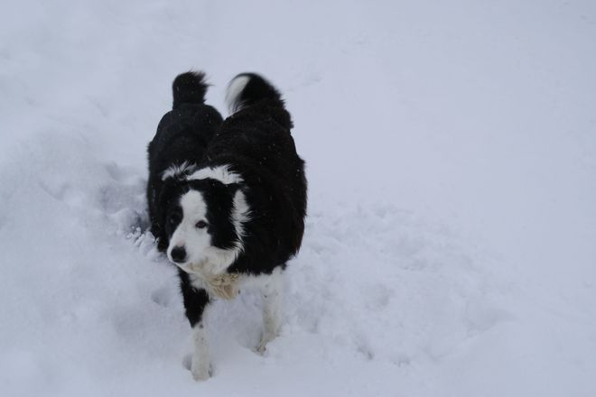 Rare Two Tailed Border Collie Temiskaming Shores, Ontario Canada