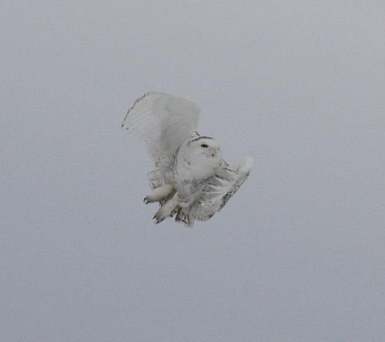 Snow Owl Ottawa, Ontario Canada