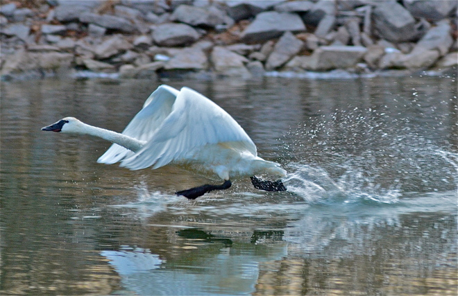 The Swan in Flight Bloomfield, Ontario Canada
