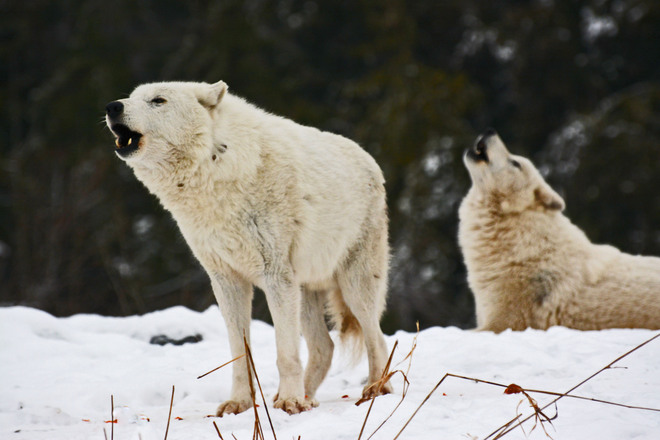 Arctic Wolves Howling in Unison Toronto, Ontario Canada