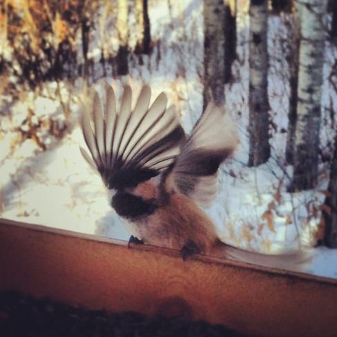 tame chickadees Sexsmith, Alberta Canada