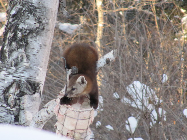Feasting on Fat Pine Falls, Manitoba Canada