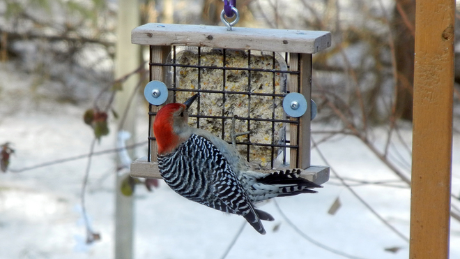 Red Bellied Woodpecker Acton, Ontario Canada