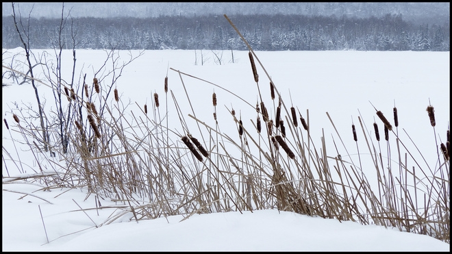 Sheriff Creek, cat tails on frozen pond. Elliot Lake, Ontario Canada