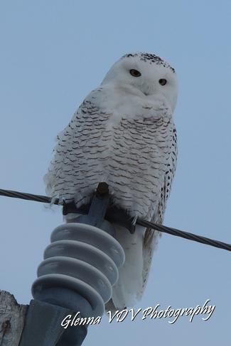 SNOW OWL Chesterville, Ontario Canada
