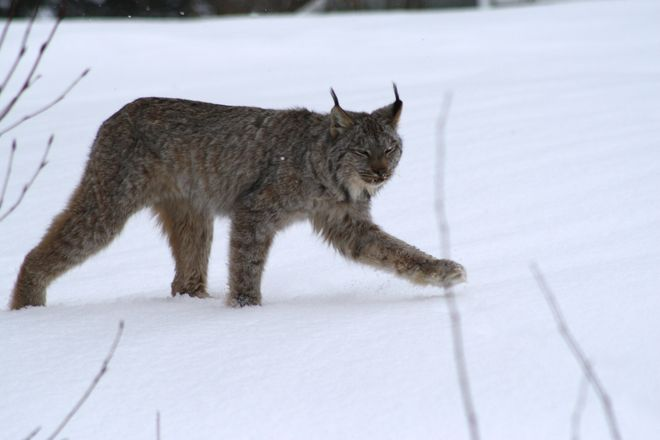 Lynx on Heroux Road Temiskaming Shores, Ontario Canada