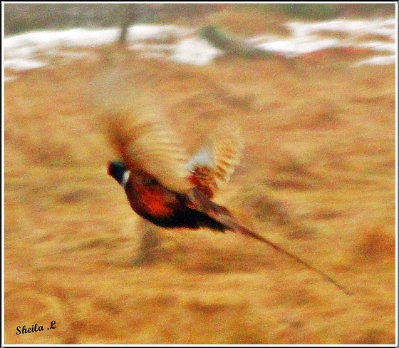 Pheasant In Flight Canning, Nova Scotia Canada