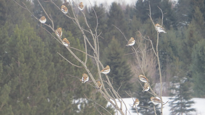 a flock of snow buntings has spotted our feeders Rutherglen, Ontario Canada