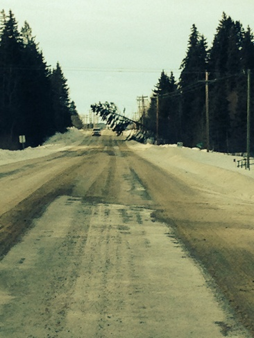 Tree down on power line during wind storm Morningside, Alberta Canada