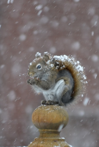 Red Squirrel Having A Snack In The Snow Ottawa, Ontario Canada