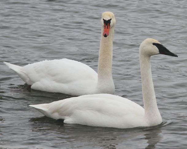 Trumpeter Swan (one of a pair) Brighton, Ontario Canada
