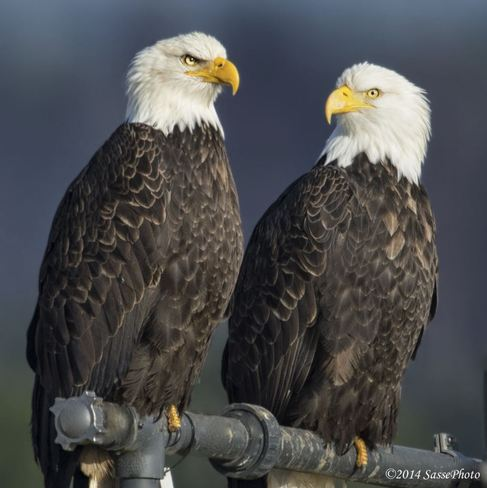 A lovely Eagle Pair Delta, British Columbia Canada