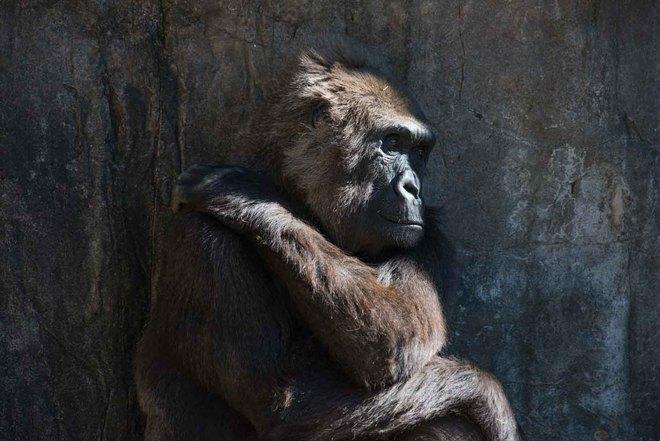 Sad gorila New Orleans, Louisiana United States