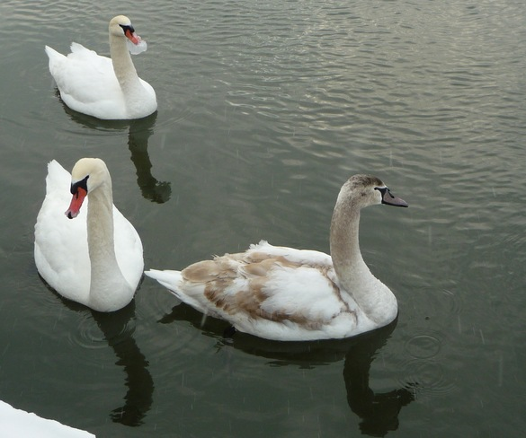 Swans on the Ganny. Port Hope, Ontario Canada