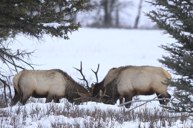 Elk greets other elks