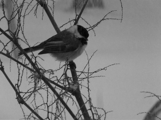Cold Chickadee Cottlesville, Newfoundland and Labrador Canada