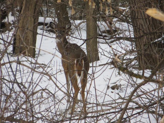 Hello Deer Unionville, Ontario Canada