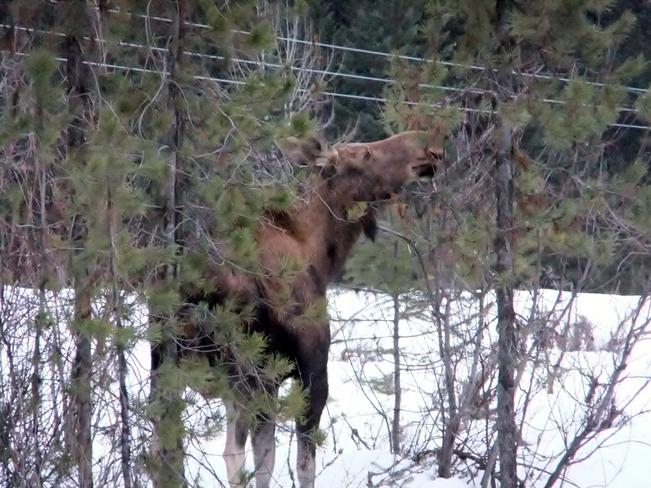 feeding moose Fauquier, British Columbia Canada