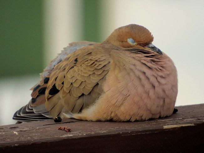 Sleeping Dove Hastings, Ontario Canada