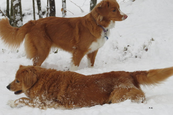 Tollers in the snow Bath, Maine United States