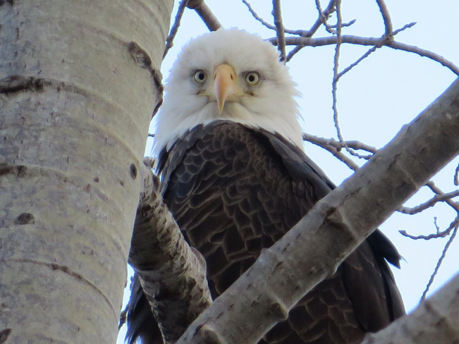 close up of a bald eagle Baddeck, Nova Scotia Canada