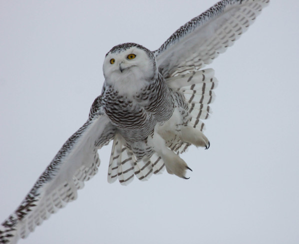 Snowy owl in flight St. Catharines, Ontario Canada