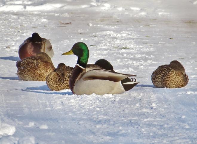 'Guard' Mallard Drake on its toes. North Bay, Ontario Canada