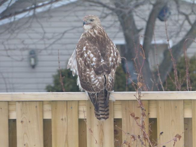 Hawk Tecumseh, Ontario Canada