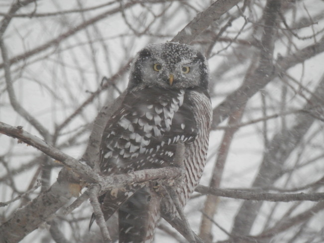 Owl In tree Fort St. John, British Columbia Canada