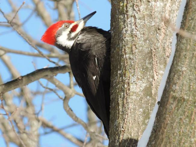 Pileated Woodpecker Brockville, Ontario Canada