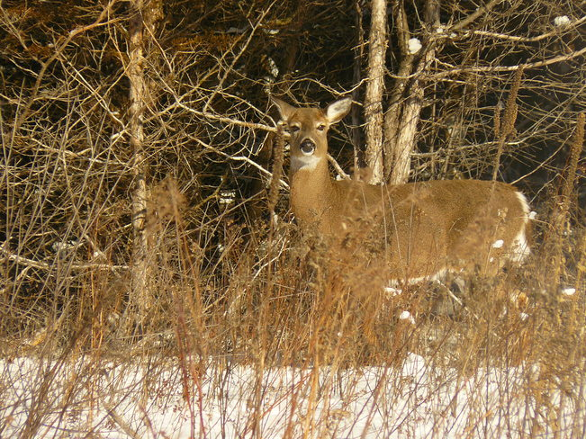 Deer out for a walk at -28 in the City of Kingston, On. Kingston, Ontario Canada