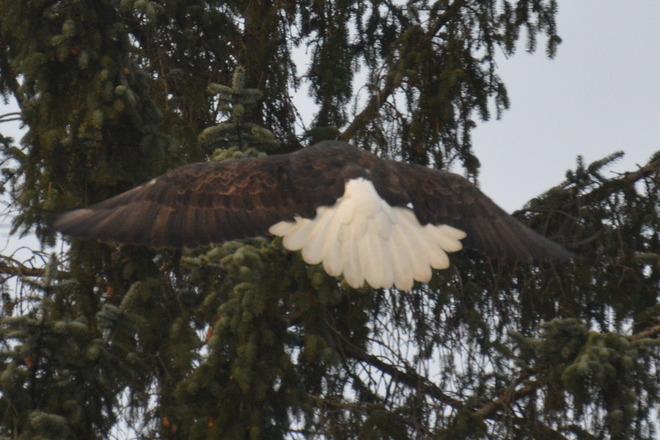 Beautiful Eagle Tail North Vancouver, British Columbia Canada