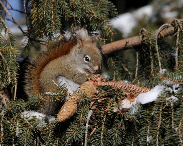 Little Red Squirrel Fergus, Ontario Canada