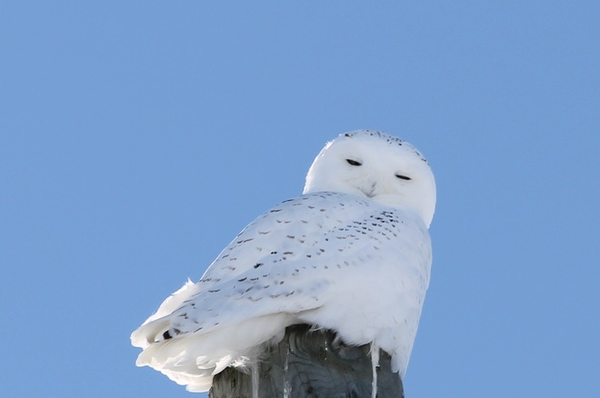 Male Snowy Owl St. Isidore, Ontario Canada
