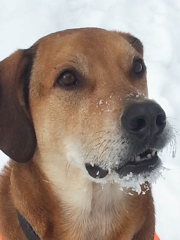Snow on my dogs muzzle St. Williams, Ontario Canada
