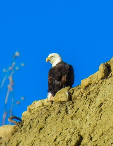 Bald Eagle perch Kremmling, Colorado United States
