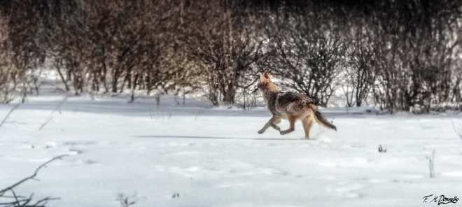 Coyote on the Move Smiths Falls, Ontario Canada