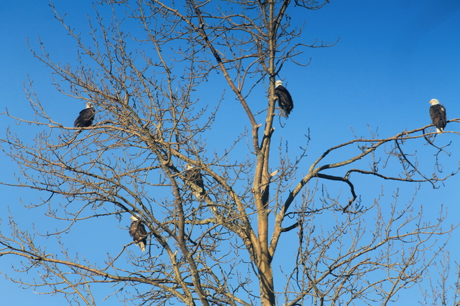 5 eagles in a tree Chilliwack, British Columbia Canada