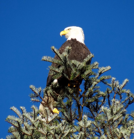 Majestic and proud Comox Valley, British Columbia Canada